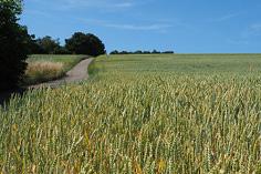 475 le grain de blé