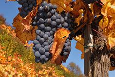 620 tangkal anggur sareng anggur